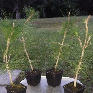7 year old Japanese black pines