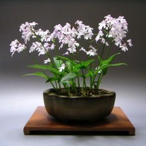 Plover Orchid - Amitostigma Keiskei - Kusamono Gardens