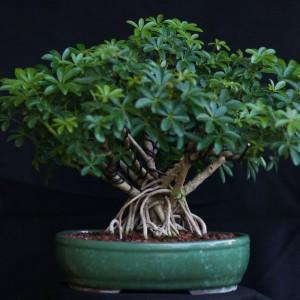 Surprising Schefflera Bonsai Nut Wiring Cloud Hisonuggs Outletorg