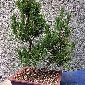 Untrimmed bonsai