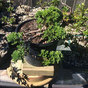 Juniper procumbens no Cascade anymore
