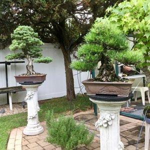 black pine - white pine Bonsai's
