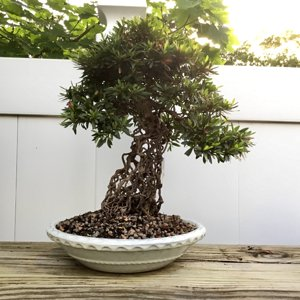 Azala Bonsai exposed roots
