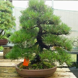 Black pine bonsai Brussel's Bonsai rendezvous display tree 2018