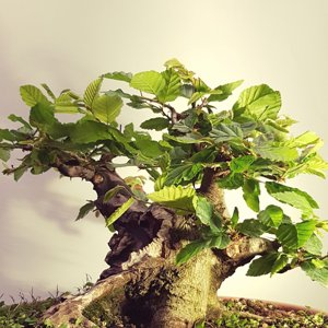 Powerful Carpinus