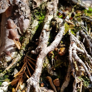 Taxus roots