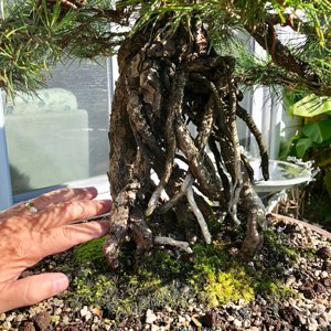 Japanese Black pine exposed roots 80+ years old