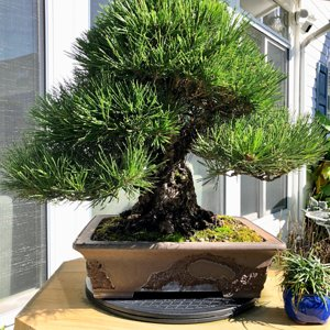 Black pine bonsai 90+ years old