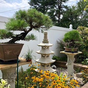 Black pine bonsai's