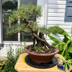 Japanese black pine exposed root bonsai 80+ years old wind swept style