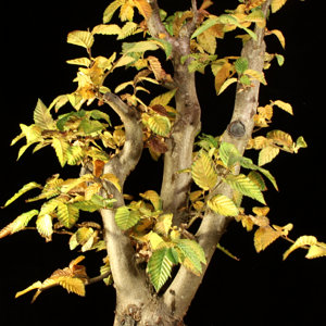 Carpinus multi trunk