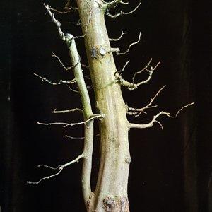 Twin trunk hornbeam