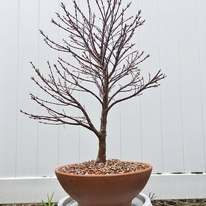 Sharps Pygmy Japanese Maple - First Repotting - 4-1-2020.jpg