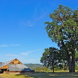 historic-trees-Valley-Fetzer-oak.jpg