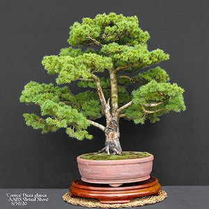 9 Picea glauca 'Conica'  Witches Broom.JPG