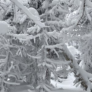 Snowy Trees in Vermont
