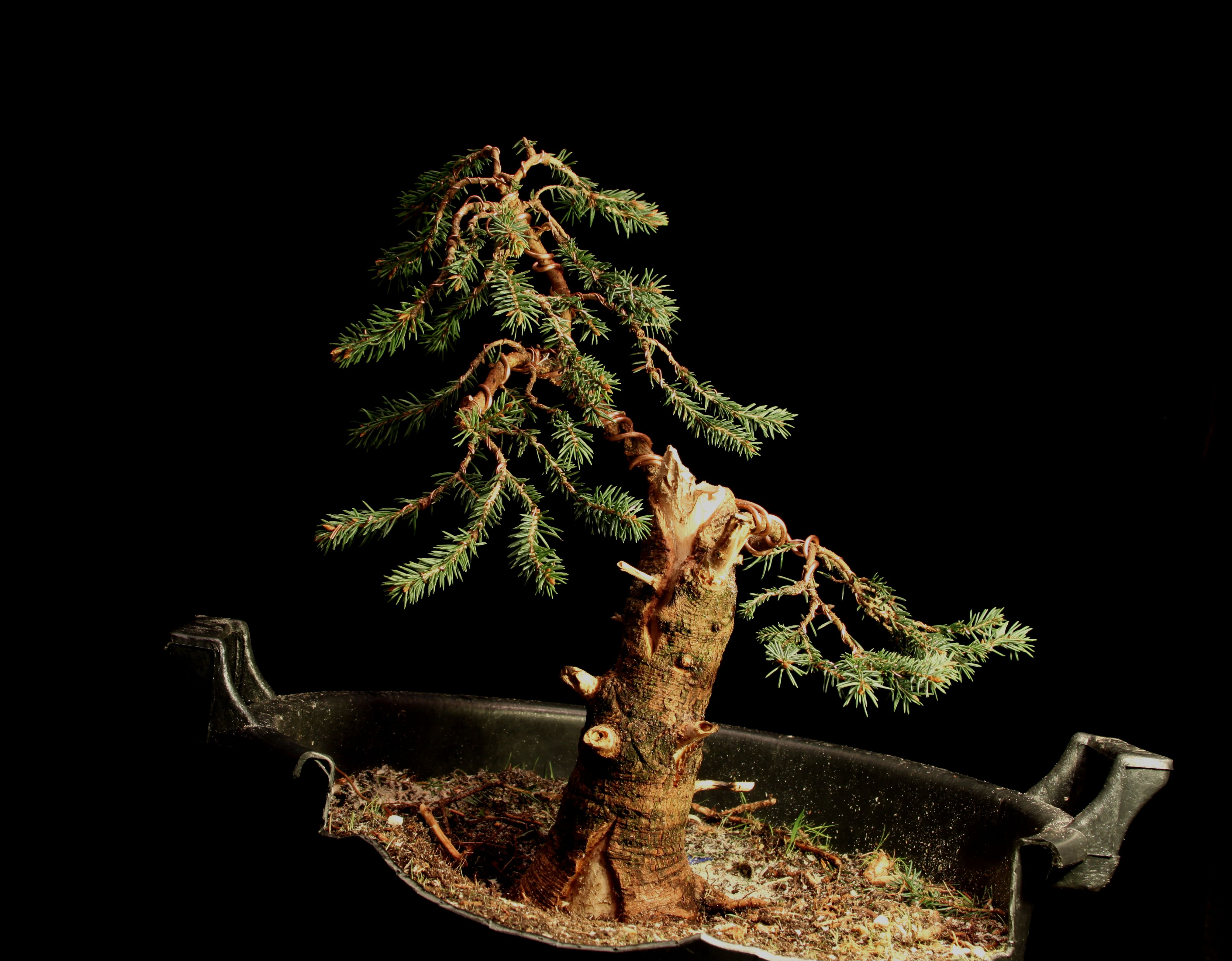 Blue Spruce Colorado Spruce Bonsai Nut