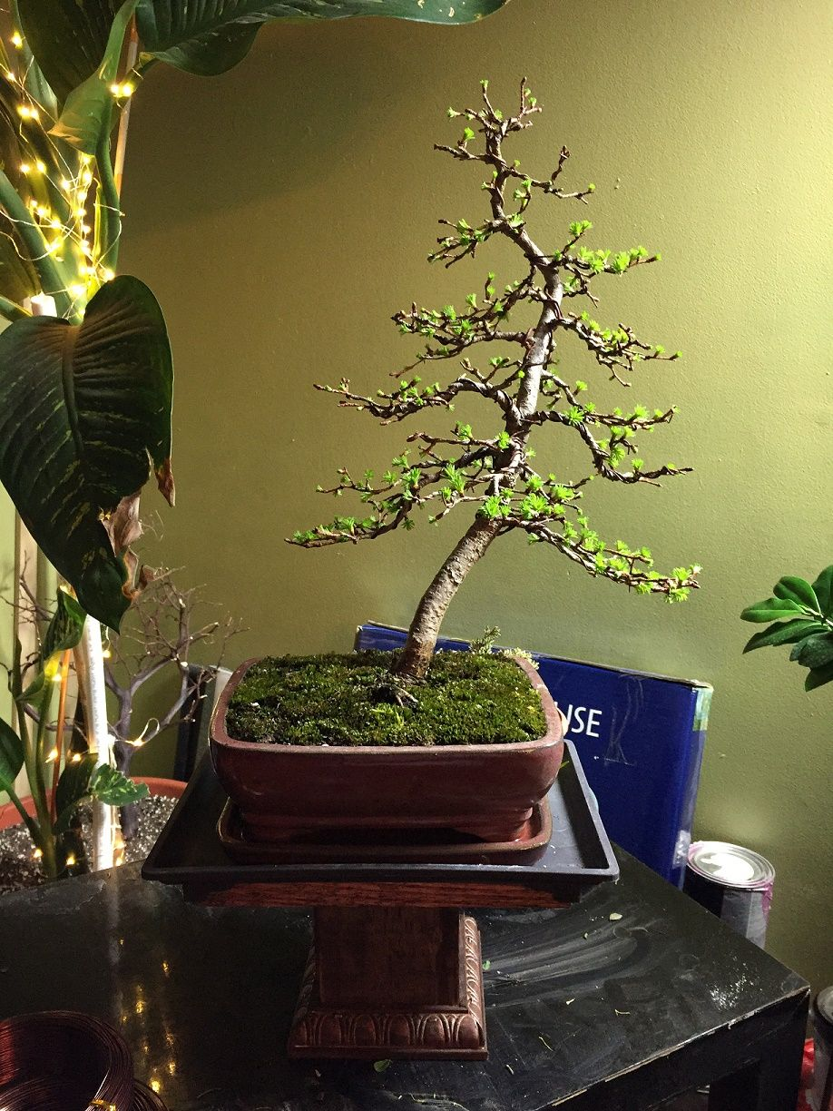 Japanese Larch After Repot