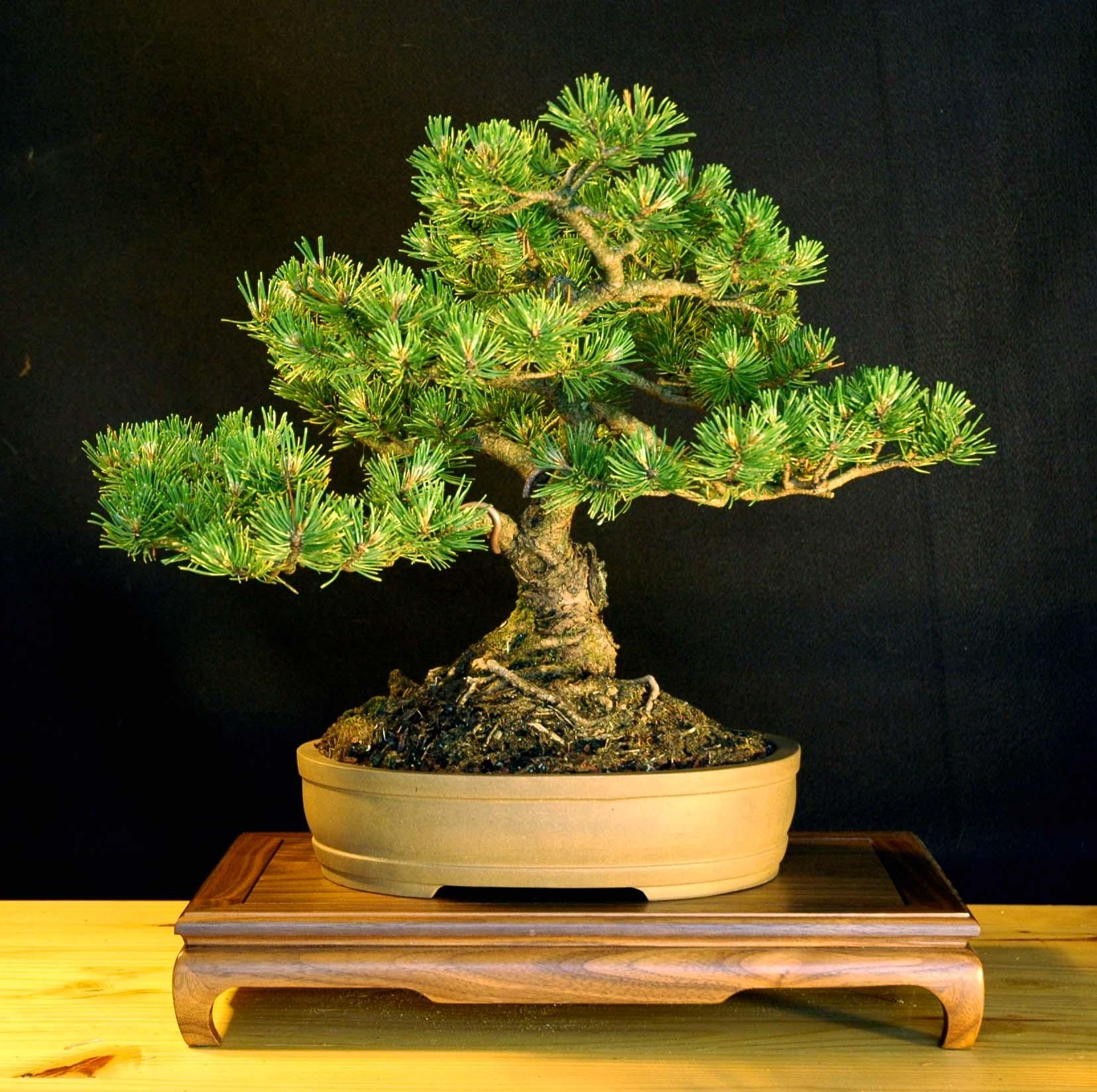 mugo pine pinus mugo mugus bonsai nut. Black Bedroom Furniture Sets. Home Design Ideas