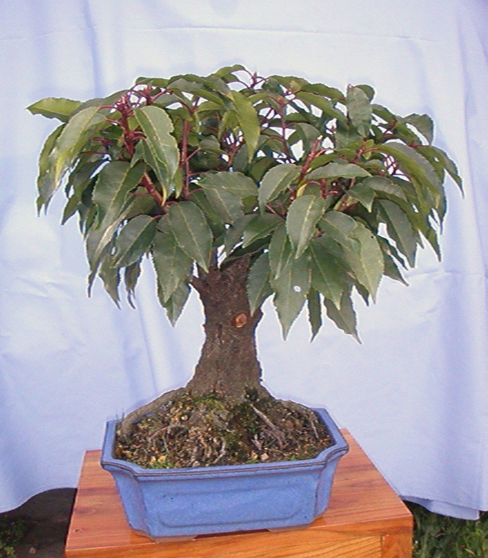 Prunus Cerasifera Pissardi Bonsai Nut